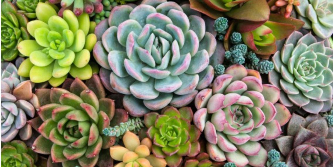 Decora tu hogar con mucho estilo usando suculentas moradas