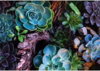 Enamórate de las suculentas en forma de rosas. Foto: Pexels